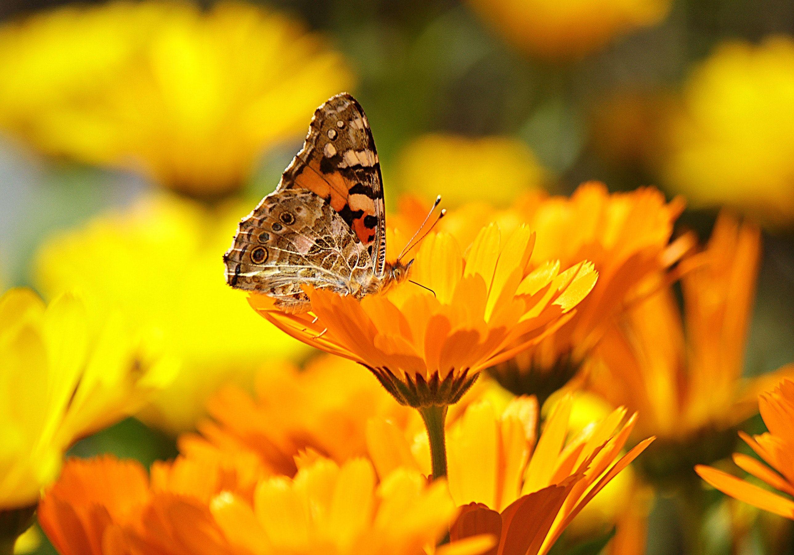 Cal flower